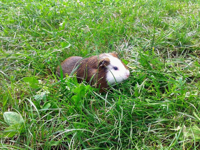 Świnka morska siedząca na dworze w trawie, a także cena świnki morskiej różnego gatunku