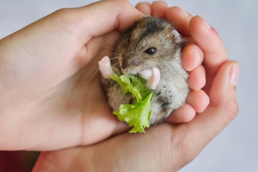 Mały chomik jedzący sałatę trzymany w dłoniach, a także informacje, co jedzą chomiki
