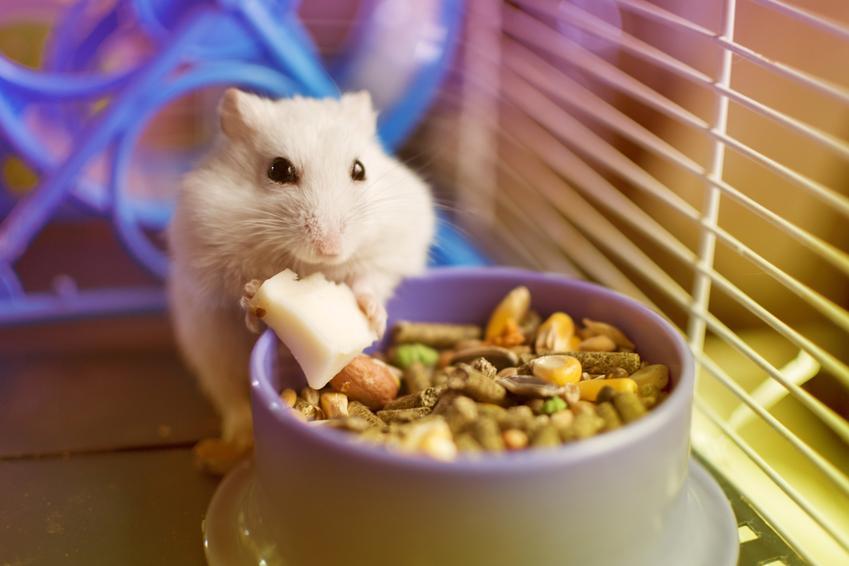 Chomik w klatce oraz jedzenie dla chomika w misce, a także porady, co jedzą chomiki