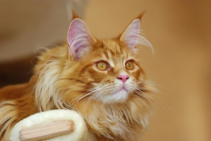 Rudy kot rasy maine coon na beżowym tle, a także charakter maine coon krok po kroku