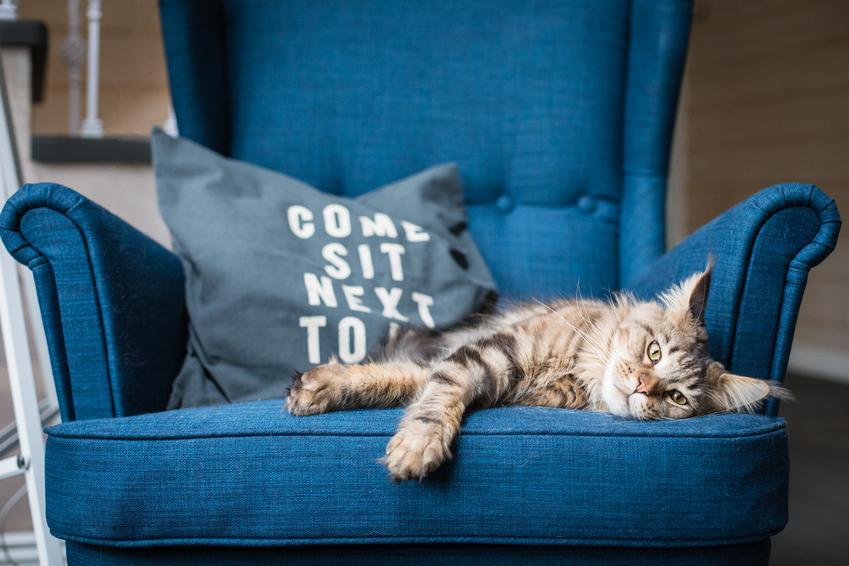 Kot rasy maine coon leżący na niebieskim fotelu oraz waga maine coon krok po kroku