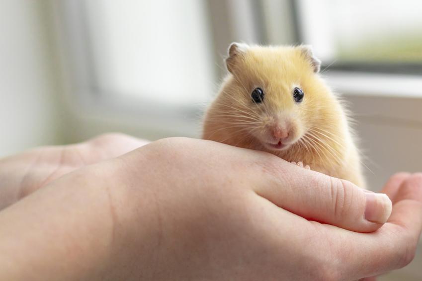 Chomik trzymany na dłoniach przez właściciela, a także cena chomika w zoologicznym i nie tylko
