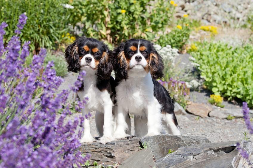 Dwa psy rasy cavalier king charles spaniel wśród kwiatów w ogrodzie oraz hodowla cavalier king charles spanieli