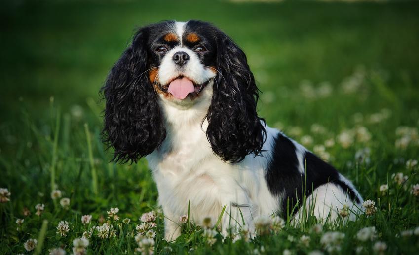 Pies rasy cavalier king charles spaniel siedzący w trawie, a także hodowla cavalier king charles spanieli