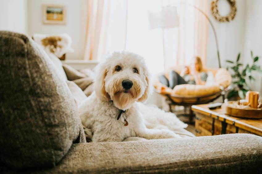 Dorosły maltańczyk siedzący na kanapie, a także jaki charakter ma pies maltańczyk