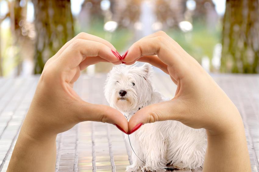 Pies maltańczyk w sercu ułożonym z palców, czyli jaki jest dorosły maltańczyk i jego charakter