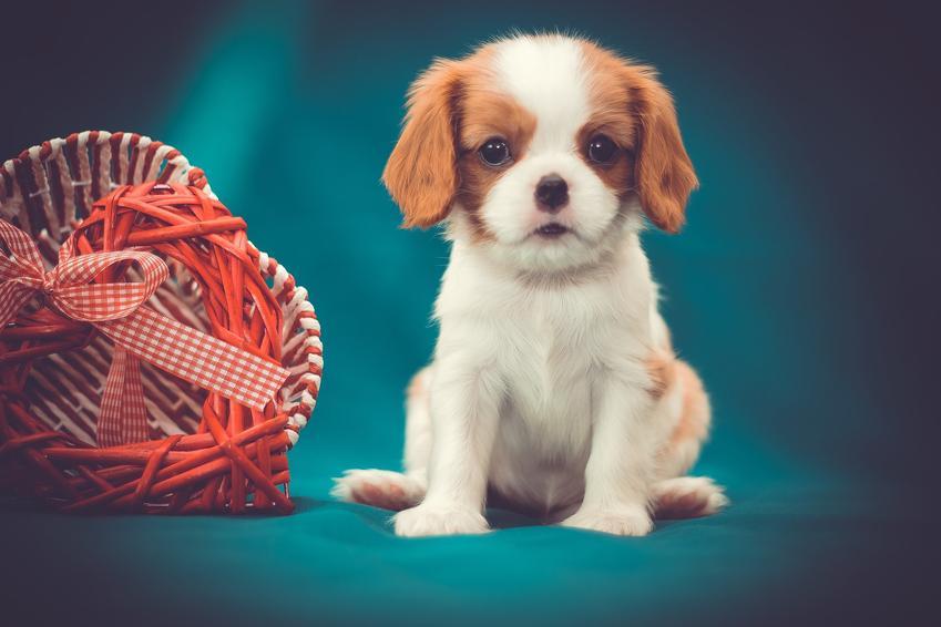 Szczeniak psa rasy cavalier king charles spaniel oraz cavalier king charles spaniel miniaturka