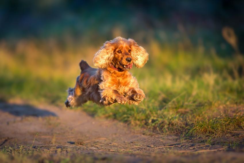 Cocker spaniel, potocznie nazywany kokiel spaniel, biegający po ścieżce podcas spaceru, a także jego charakter