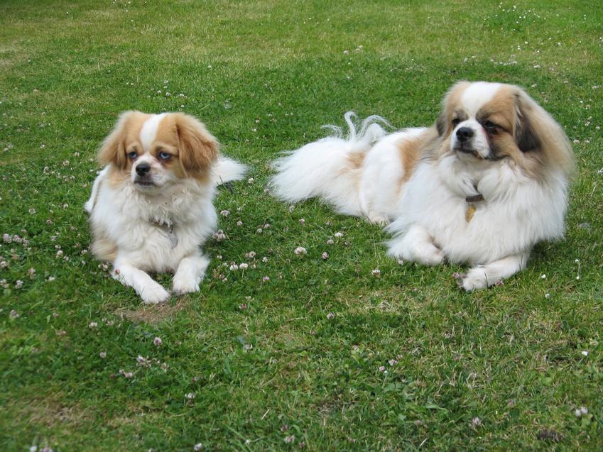 Dwa psy rasy spaniel tybetański leżące na trawniku, a także ich cechy charakteru, sprzedaż i cena