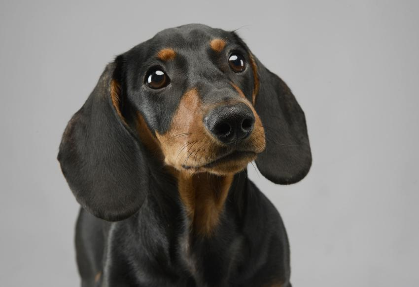 Pies rasy jamnik krótkowłosy, gładkowłosy na szarym tle, a także jego wychowanie i cena