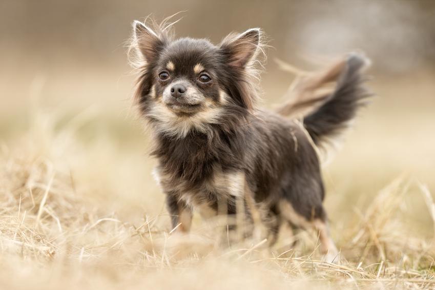 Pies rasy chihuahua stojący na polu podczas spaceru, a także najmniejsze rasy psów znane w Polsce
