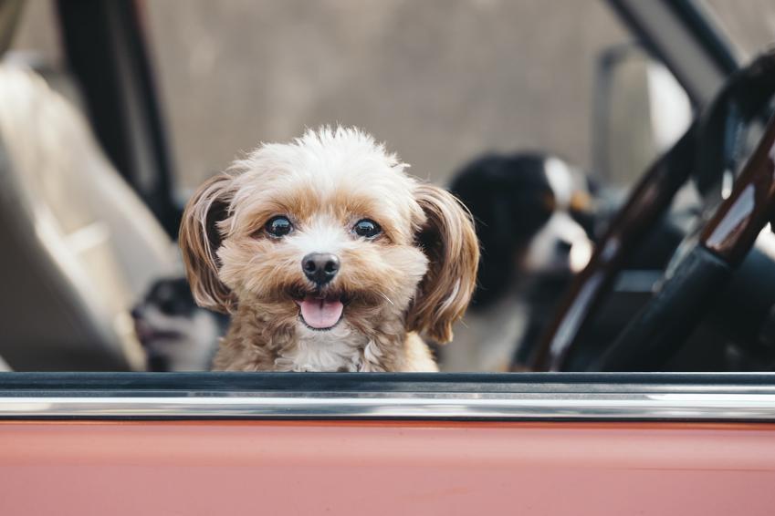Mały pies siedzący w samodzie i wyglądający przez okno oraz najmniejsze rasy psów znane w Polsce