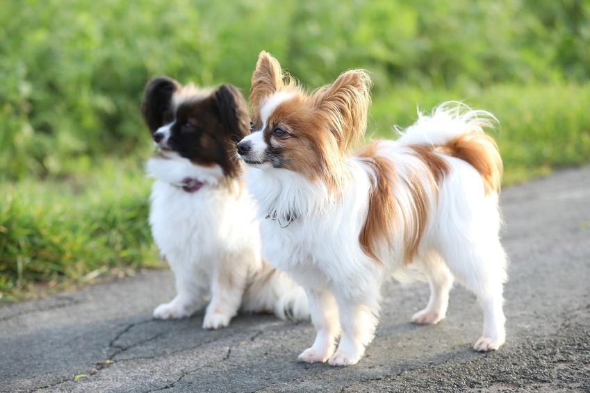 Dwa psy rasy papillon stojące na drodze podczas spaceru, a także najmniejsze rasy psów znane w Polsce