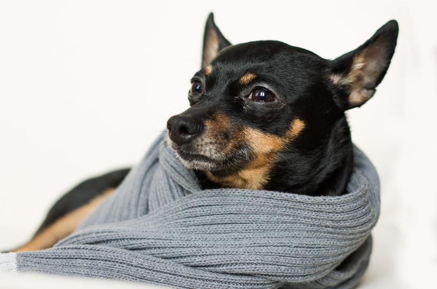 Pies rasy pinczer miniaturowy owinięty szalem, a także najmniejsze rasy psów znane w Polsce