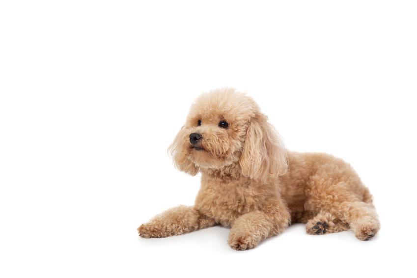 Pies rasy pudel miniaturowy siedzący na białym tle, a także najmniejsze rasy psów znane w Polsce