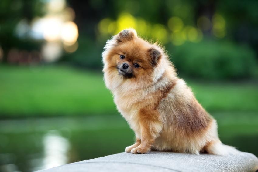 Pies rasy szpic miniaturowy siedzący nad wodą, a także najmniejsze rasy psów znane w Polsce