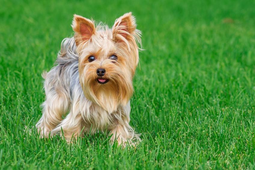 Pies rasy yorkshiere terrier stojący na trawniku, a także najmniejsze rasy psów znane w Polsce