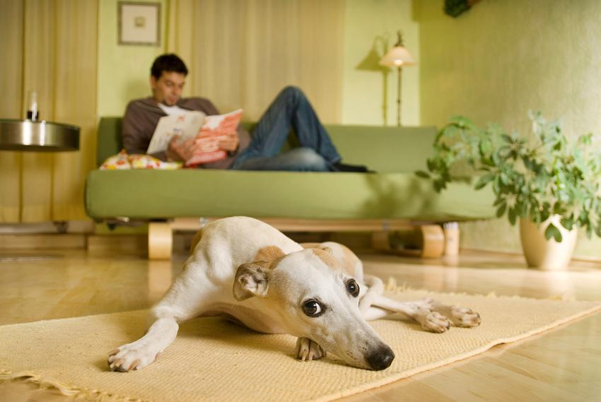 Pies rasy chart leżący na podłodze w salonie mieszkania, a także polecane rasy małych psów do mieszkania