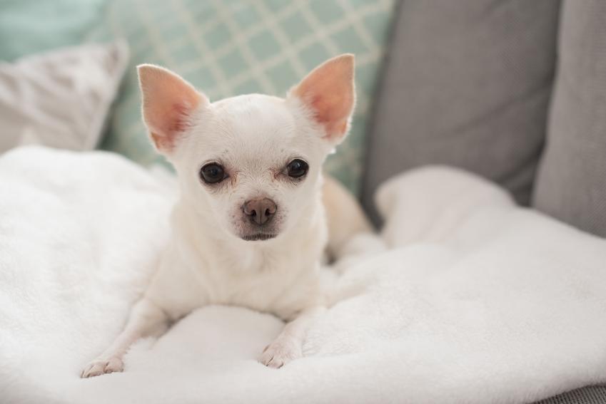Pies rasy chihuahua w poduszkach na łóżku, a także polecane rasy małych psów do mieszkania