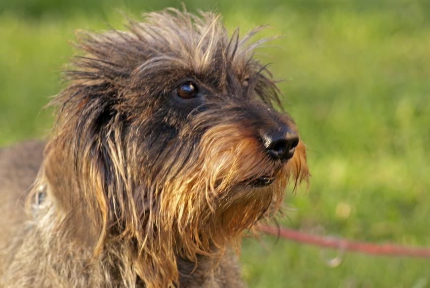 Pies rasy jamnik szorstkowłosy na tle trawy podczas spaceru, a także polecane rasy małych psów do mieszkania