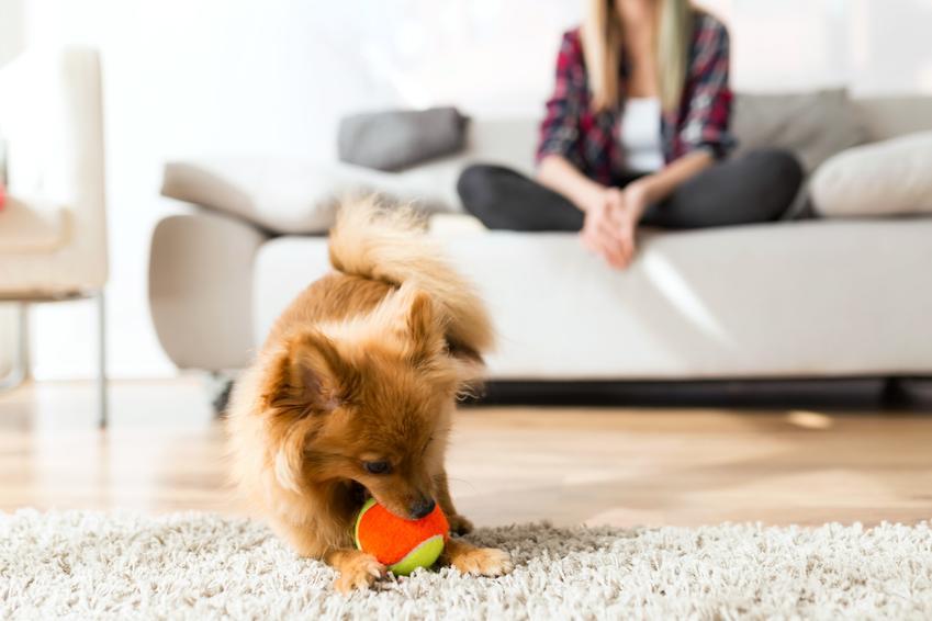 Mały pies leżący na dywanie w salonie oraz rasy małych psów do mieszkania i ich przegląd
