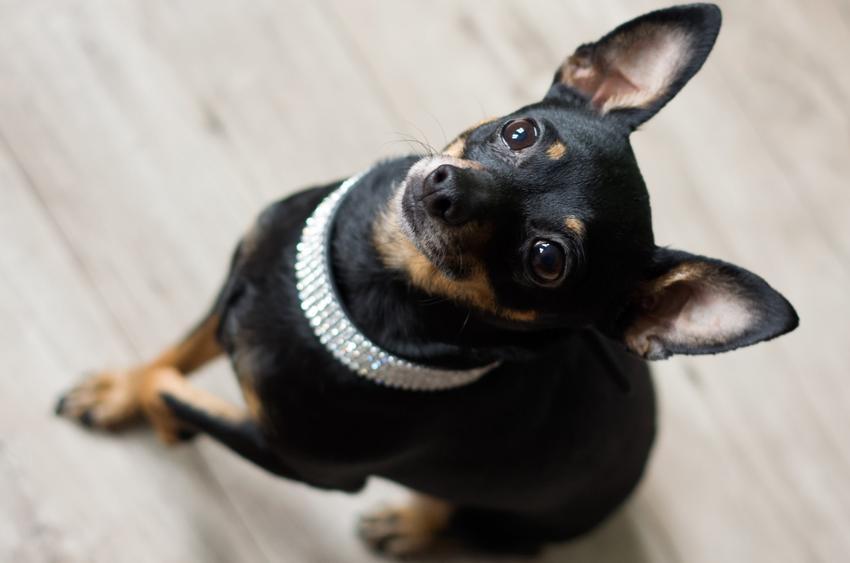 Pies rasy pinczer miniaturowy siedzący na podłodze i patrzący w obiektyw, a także polecane rasy małych psów do mieszkania