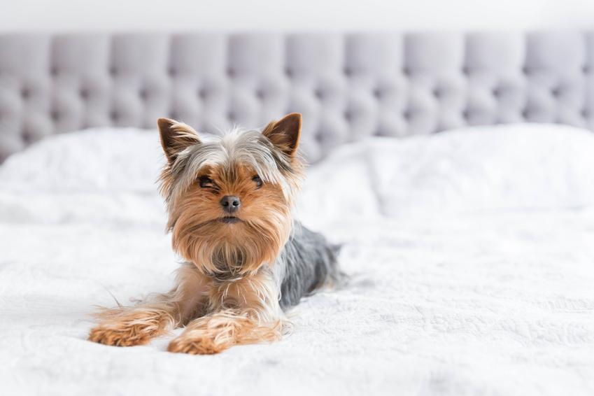 Pies rasy yorksgiere terier leżący na łóżku w sypialni, a także polecane rasy małych psów do mieszkania