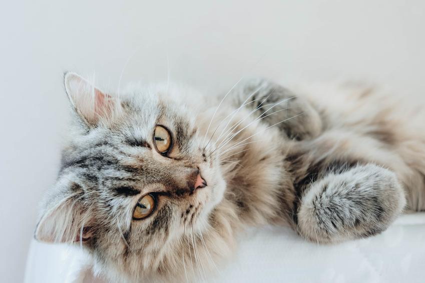 Kot perski leżący na łóżku, a także cena kota perskiego, a także charakter i usposobienie rasy