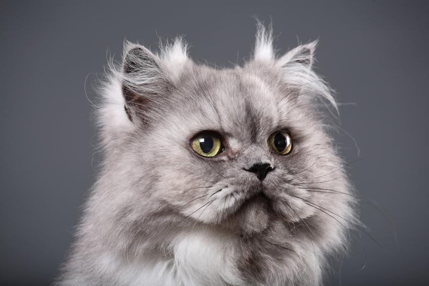 Szary kot perski na szarym tle, a także cena kota perskiego, ich kupno i wychowanie