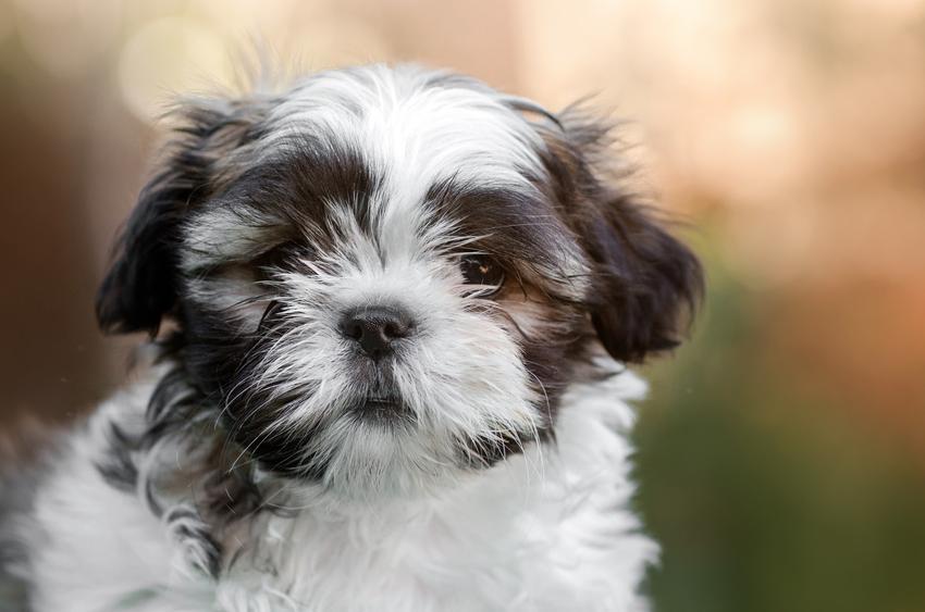 Pies rasy shih tzu na zdjęciu portretowym, a także hodowla shih tzu i charakter rasy