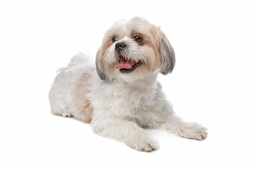 Pies rasy shih tzu na białym tle, a także najlepsza hodowla shih tzu w Polsce