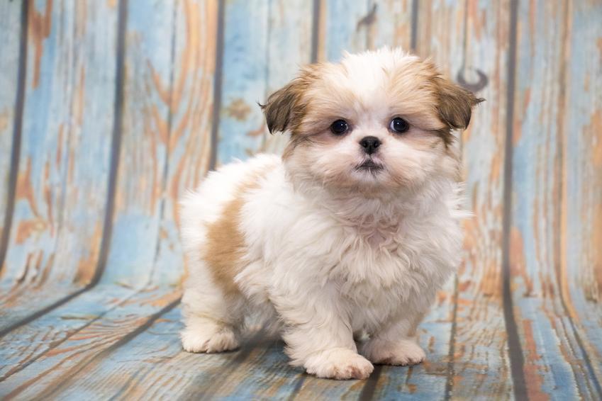 Pies rasy shih tzu na niebiesko drewnianym tle, a także fryzury dla shih tzu i strzyżenie psa