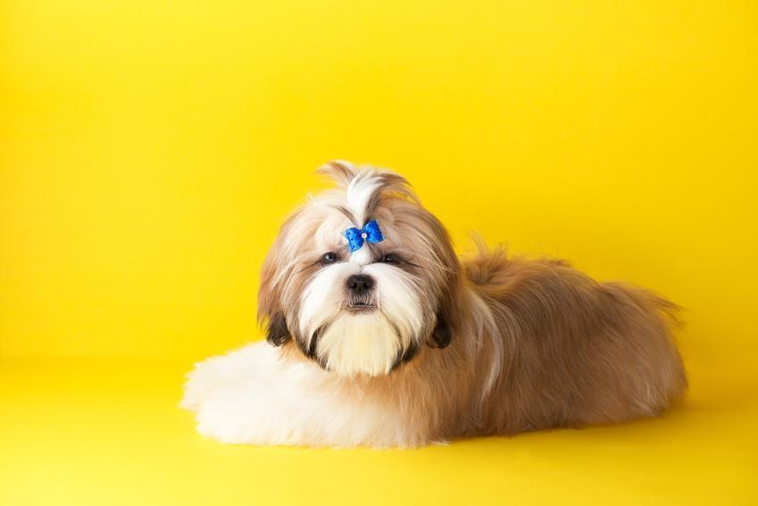 Pies rasy shih tzu z ciekawą fryzurą na żółtym tle, a także polecane fryzury dla shih tzu