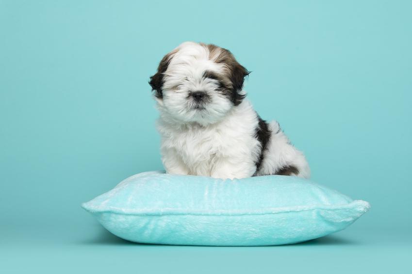 Pies rasy shih tzu na niebieskiej poduszce i niebieskim tle, a także szczeniaki shih tzu