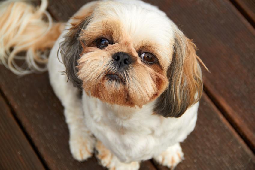 Pies rasy shih tzu siedzący na podłodze i patrzący w obiektyw, a także odpowiednia waga shih tzu a jego wiek