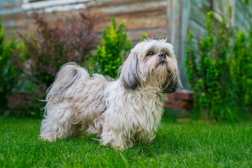 Pies rasy shih tzu na podwórku na trawniku, a także opinie o shih tzu i jego charakter