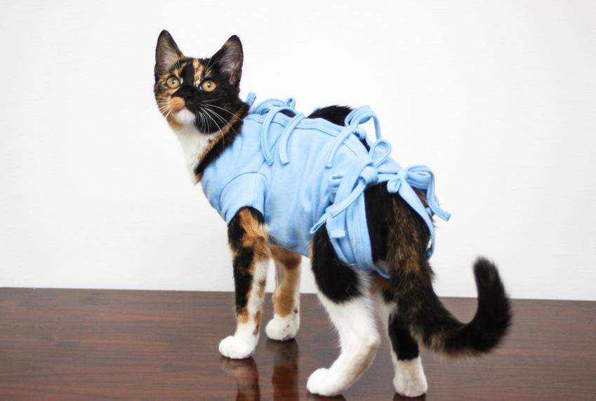 Kot po zabiegu kastracji, czyli jak wygląda kastracja kota i co warto o niej wiedzieć