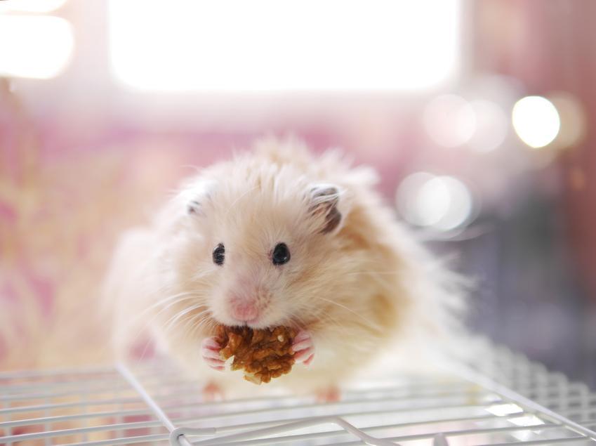 Chomik siedzący na klatce i trzymający w łapkach jedzenie, a także informacje, co je chomik