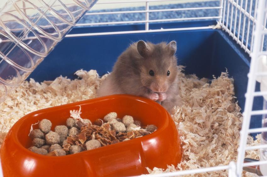 Chomik w klatce z czerwoną miską pełną jedzenia, a także informacje, co je chomik