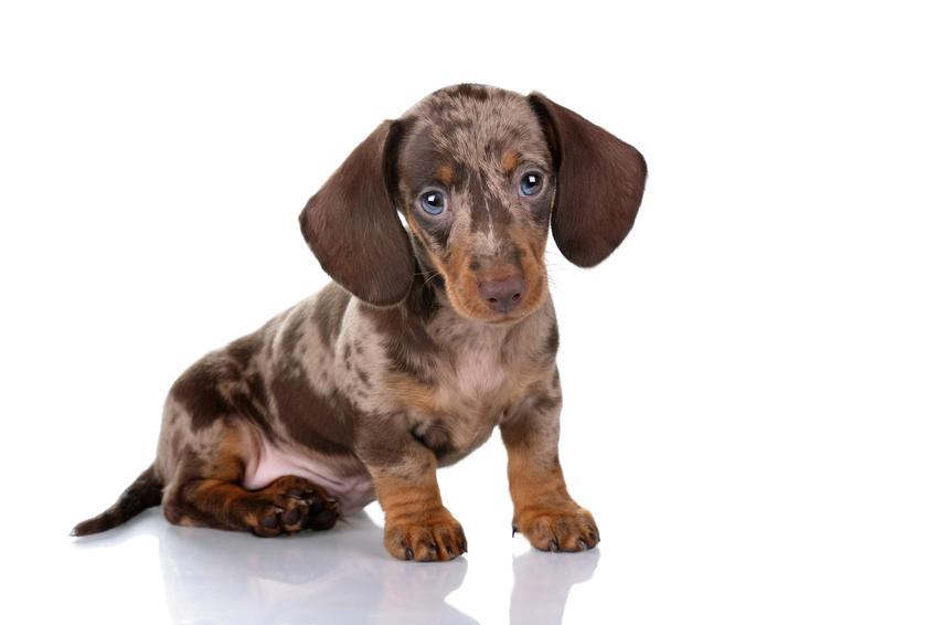 Pies rasy jamnik merle na białym tle, a także jego charakter, usposobienie i cena