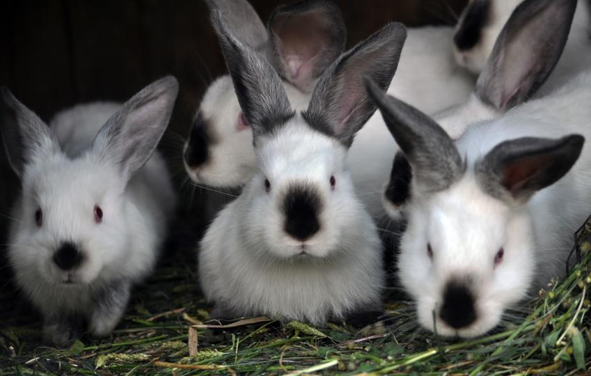 Króliki kalifornijskie na sianie, a także królik kalifornijski, jego charakter i hodowla