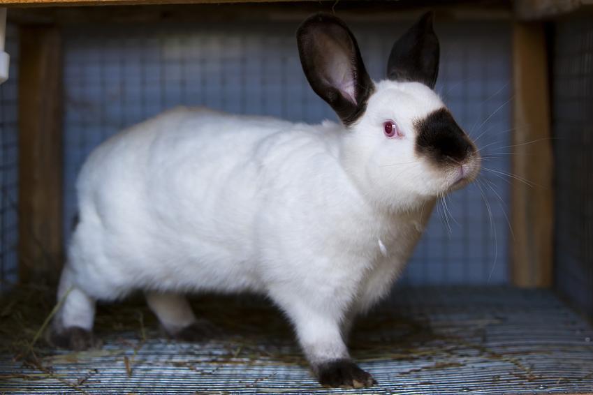 Duży biały królik kalifornijski z czarnymi uszami, a także jego sprzedaż i hodowla