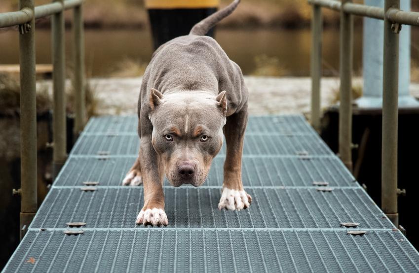 Pies razy pitbull idący po kładce, a także opinie o psie pitbull, jego charakter i cena