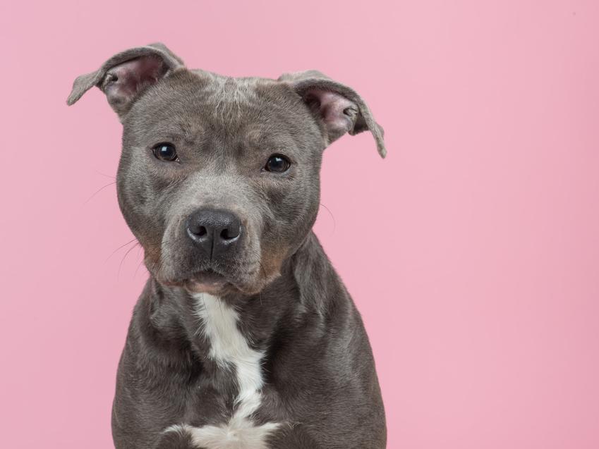 Pies rasy pitbull na różowym tle oraz opinie o psie pitbull, czyli jego usposobienie krok po kroku