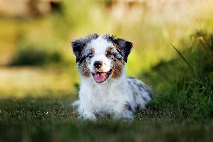 Pies rasy owczarek ustralijski szczeniak siedzący w trawie, a także charakter owczarka australijskiego