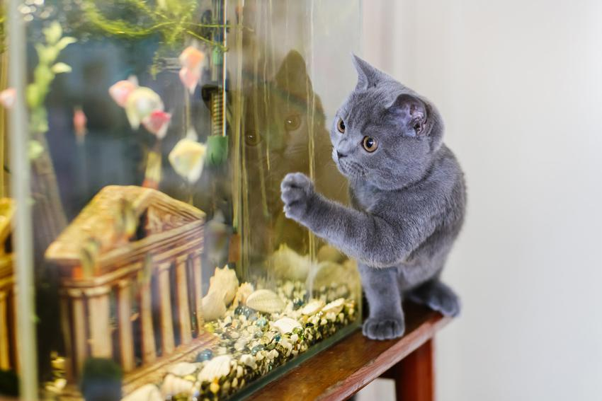 Mały kot brytyjski bawiący się w salonie, czyli krótkowłosy niebieski brytyjczyk i porady