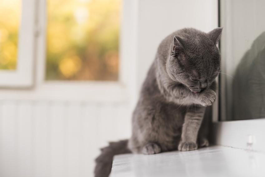 Mały kot brytyjski oblizujący łapki, czyli krótkowłosy niebieski brytyjczyk i jego pielęgnacja