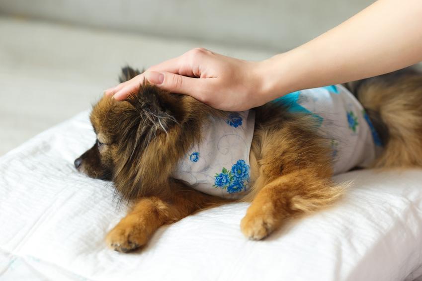 Pies leżący po zabiegu u weterynarza, a także informacje, jaka jest cena sterylizacji psa