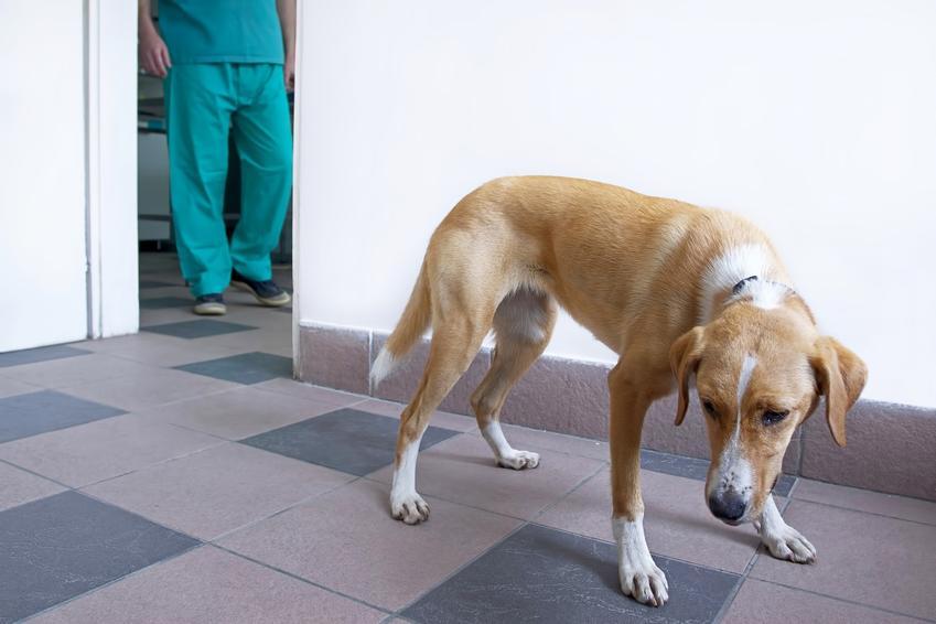 Pies w przychodni weterynaryjnej oraz cena sterylizacji psa, czyli ile kosztuje sterylizacja