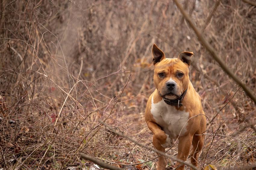 Pies rasy amstaff podczas spaceru w lesie, a także jego charakter i wychowanie